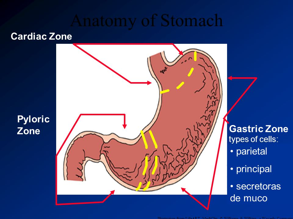 Anatomy of Stomach Cardiac Zone Pyloric Zone Gastric Zone parietal