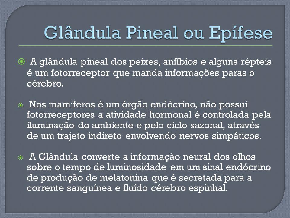 Glândula Pineal ou Epífese