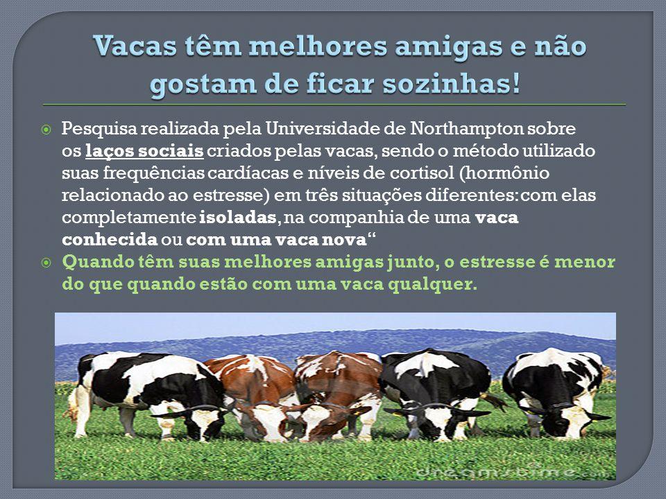 Vacas têm melhores amigas e não gostam de ficar sozinhas!