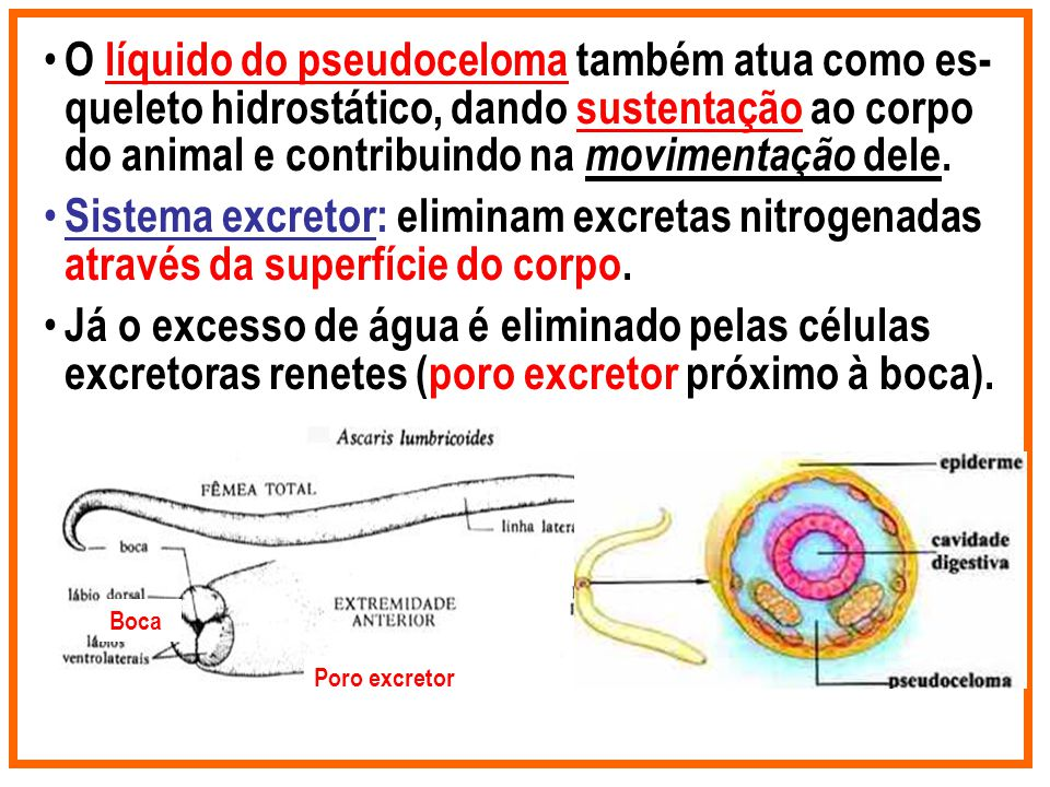O líquido do pseudoceloma também atua como es-queleto hidrostático, dando sustentação ao corpo do animal e contribuindo na movimentação dele.