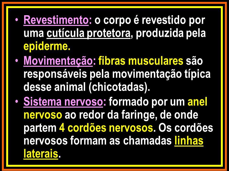 Revestimento: o corpo é revestido por uma cutícula protetora, produzida pela epiderme.
