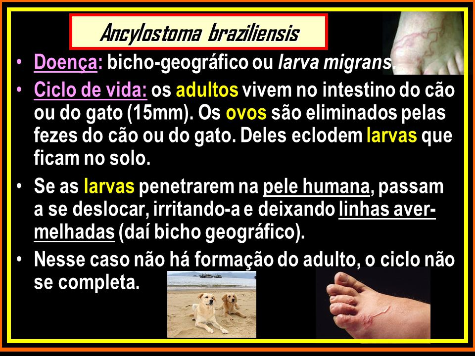 Ancylostoma braziliensis