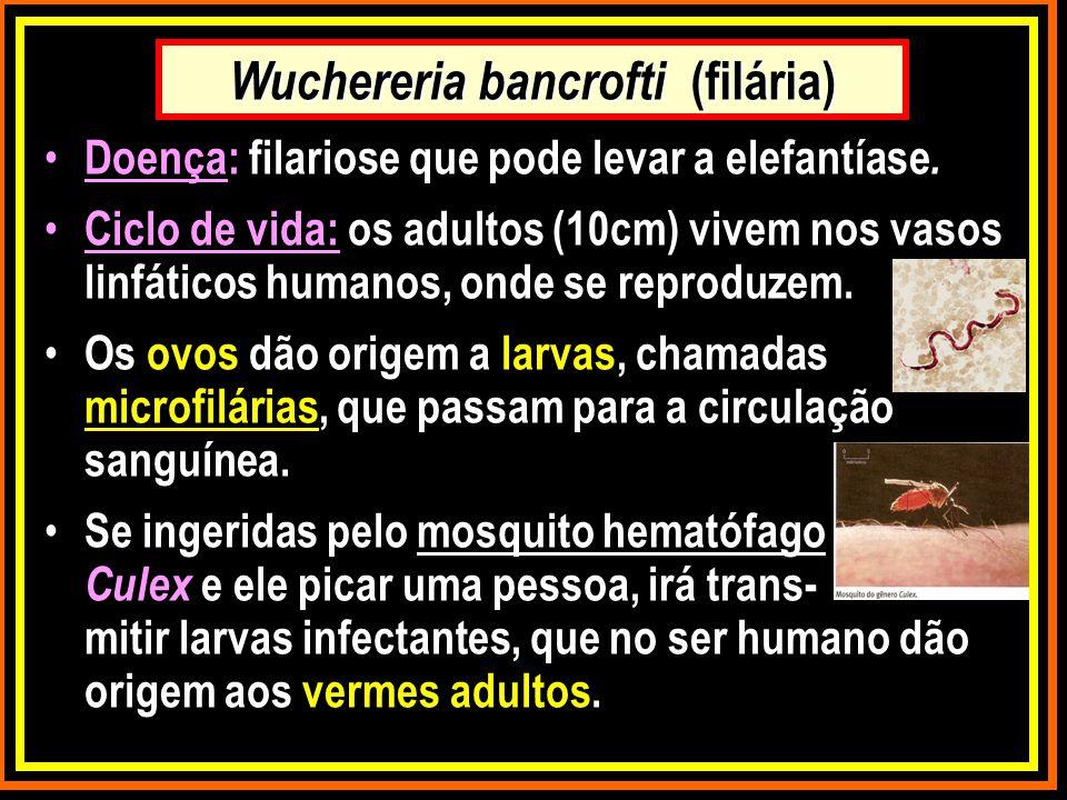 Wuchereria bancrofti (filária)