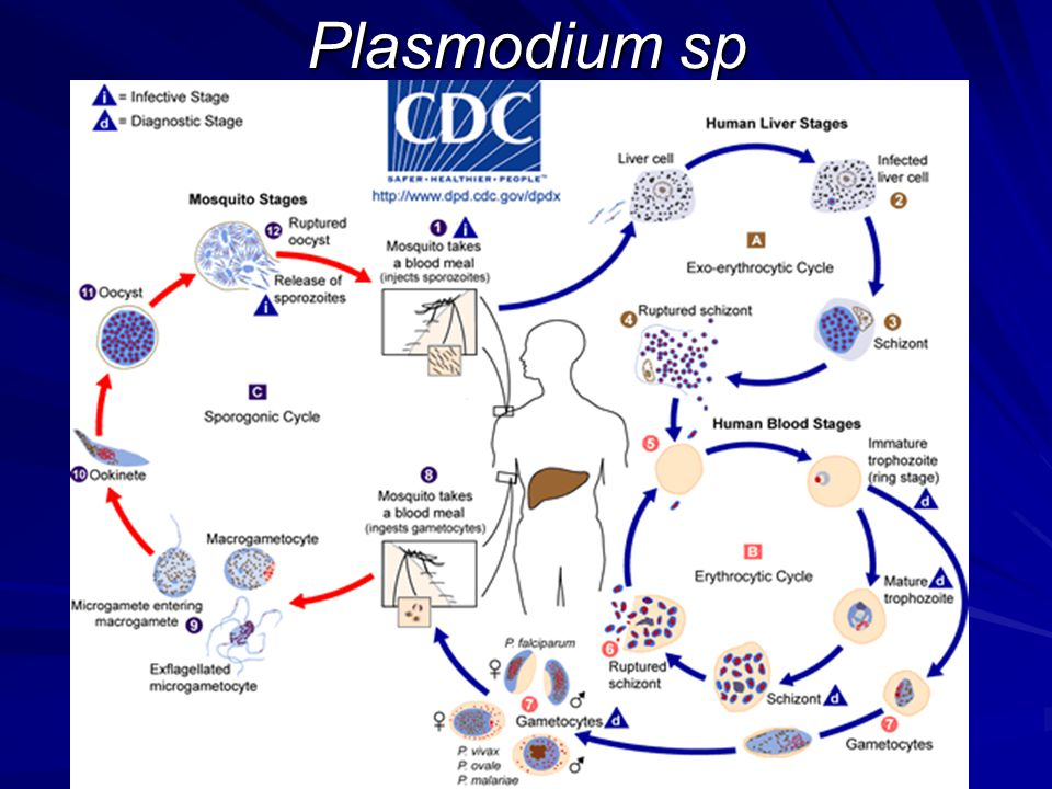 Plasmodium sp