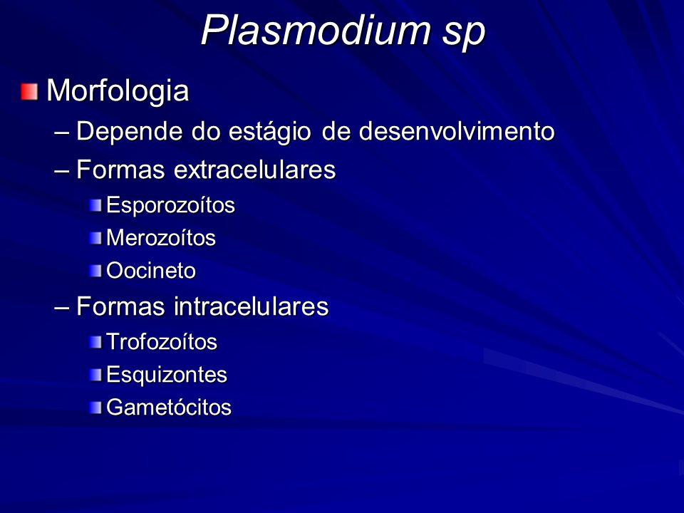 Plasmodium sp Morfologia Depende do estágio de desenvolvimento