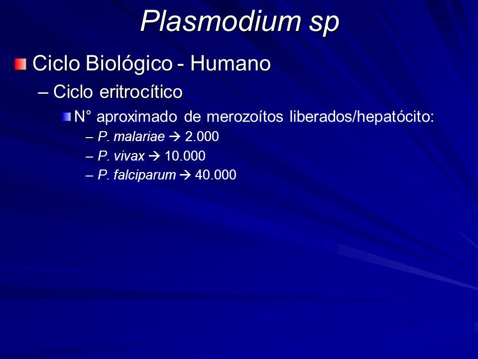 Plasmodium sp Ciclo Biológico - Humano Ciclo eritrocítico
