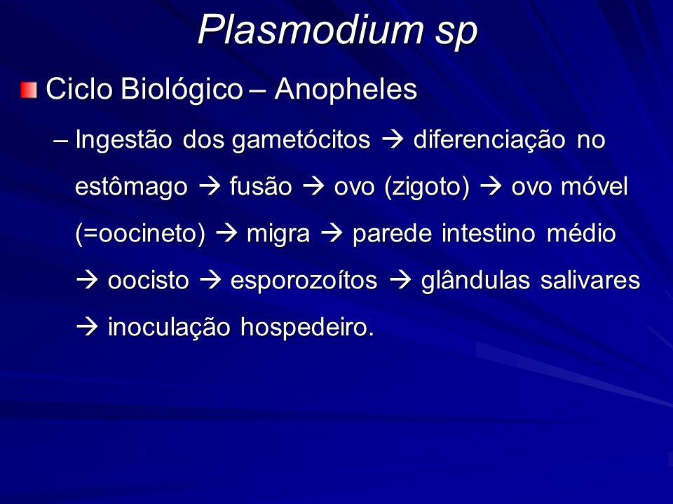 Plasmodium sp Ciclo Biológico – Anopheles