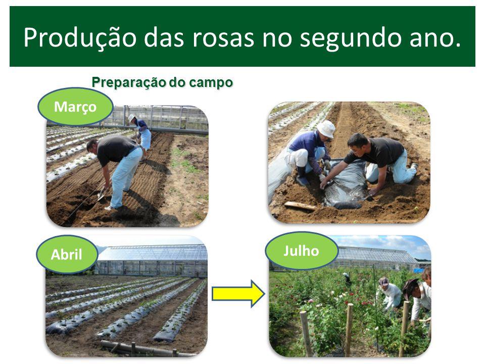 Produção das rosas no segundo ano.