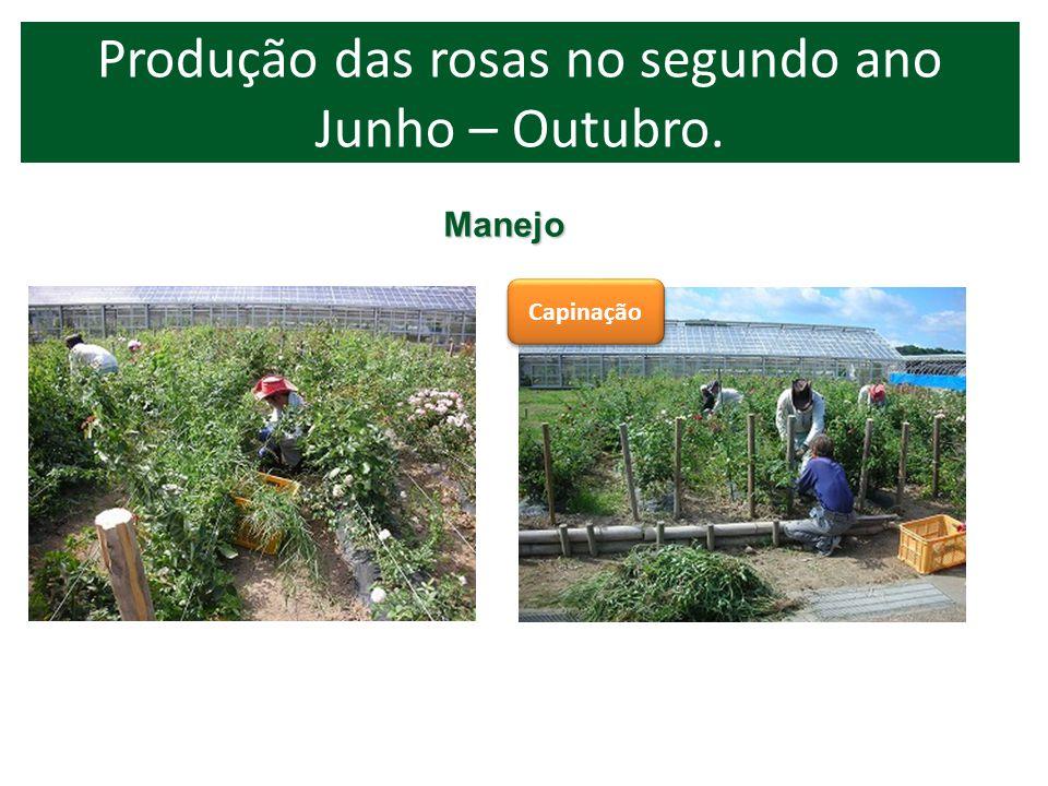 Produção das rosas no segundo ano Junho – Outubro.