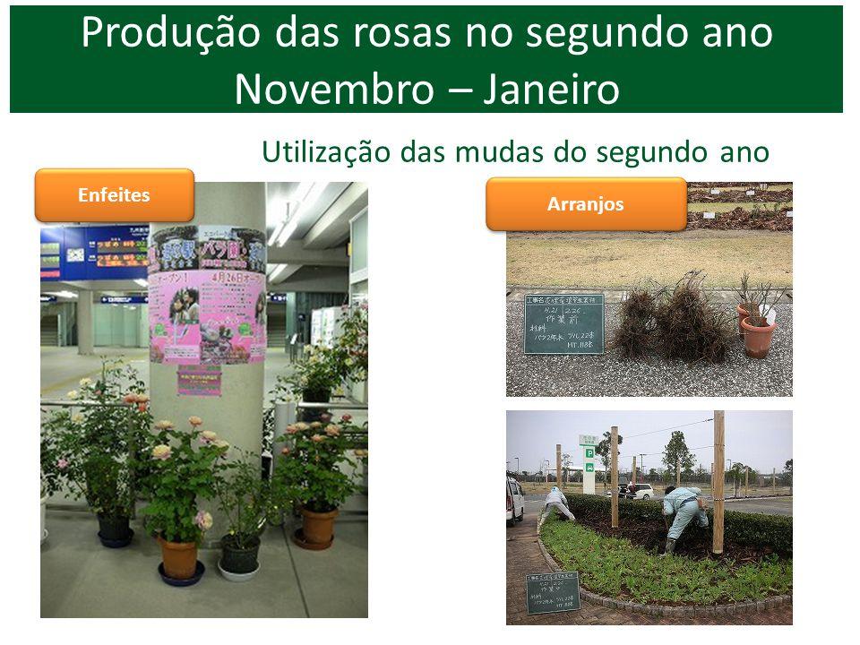 Produção das rosas no segundo ano Novembro – Janeiro