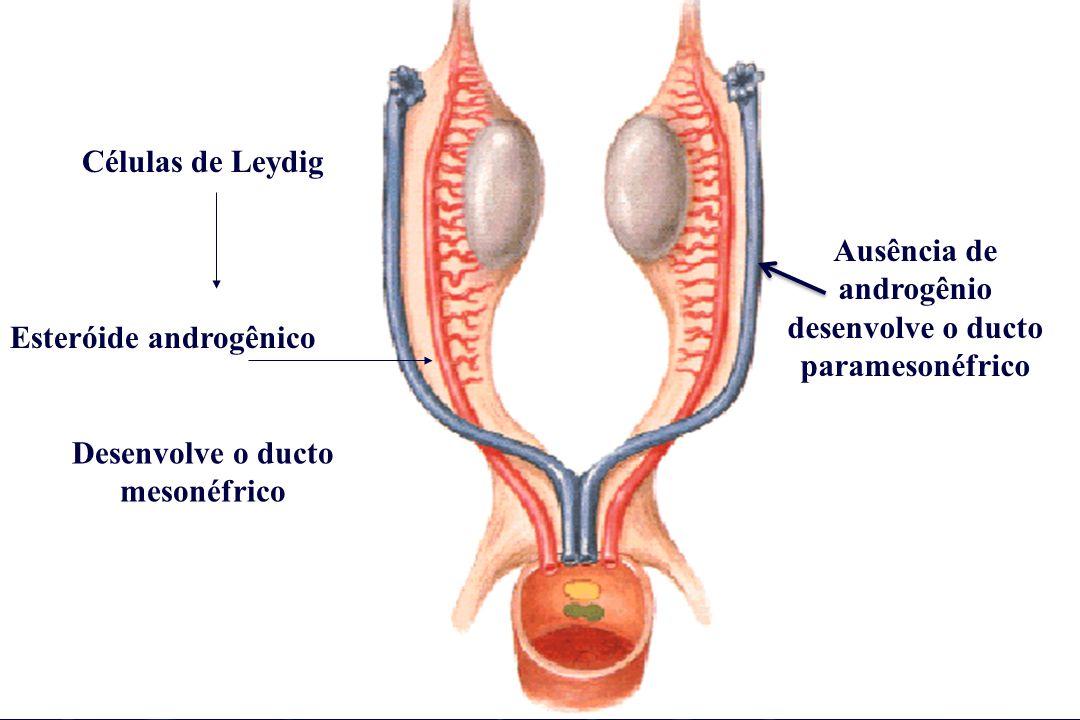Ausência de androgênio desenvolve o ducto paramesonéfrico