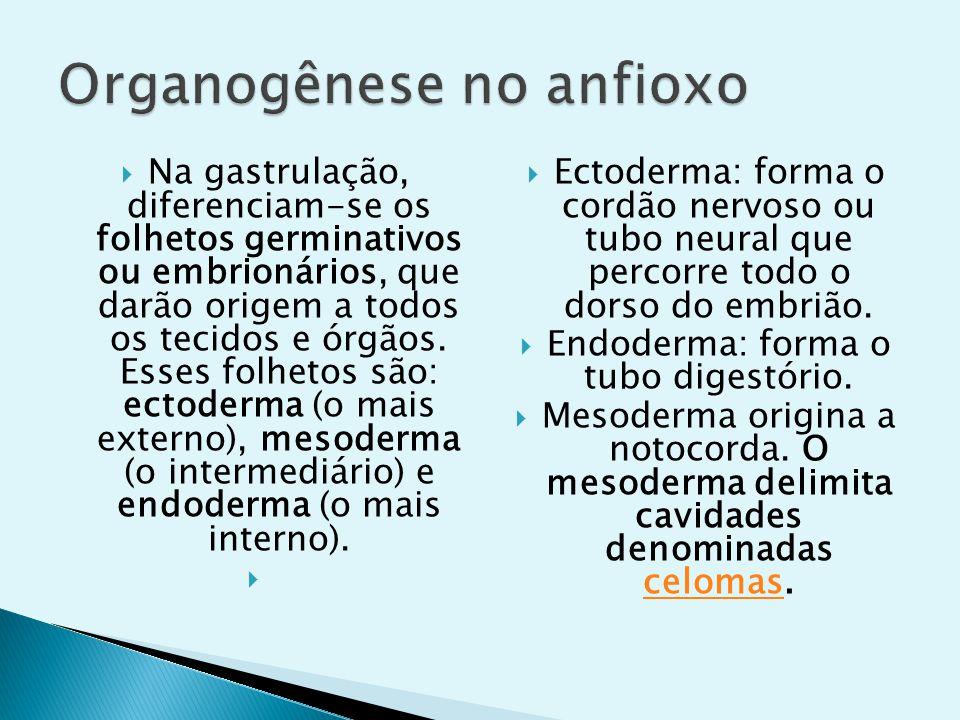 Organogênese no anfioxo