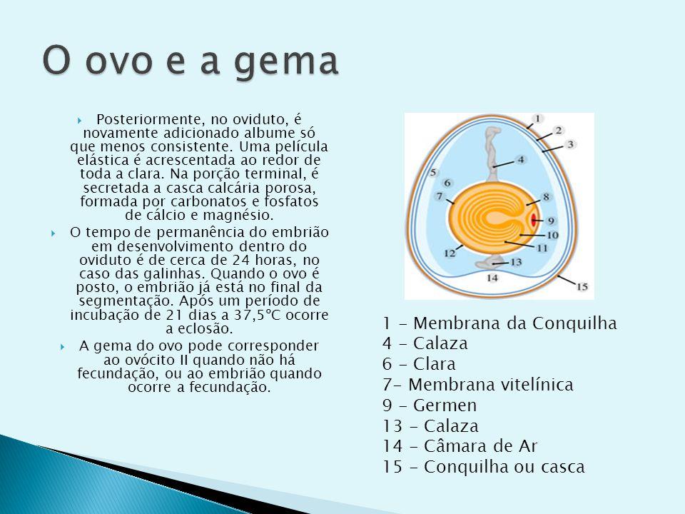 O ovo e a gema 1 - Membrana da Conquilha 4 - Calaza 6 - Clara