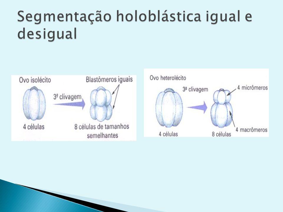 Segmentação holoblástica igual e desigual