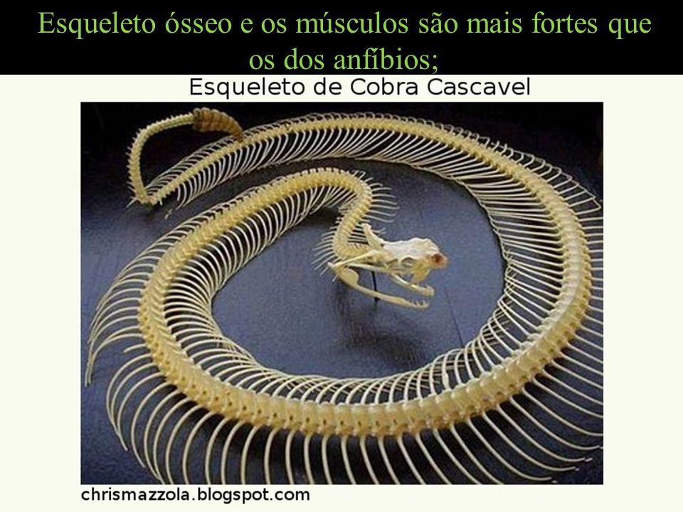 Esqueleto ósseo e os músculos são mais fortes que os dos anfíbios;