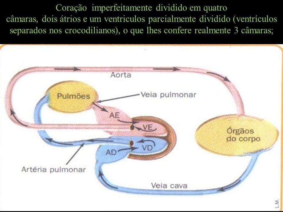 Coração imperfeitamente dividido em quatro câmaras, dois átrios e um ventriculos parcialmente dividido (ventrículos separados nos crocodilianos), o que lhes confere realmente 3 câmaras;