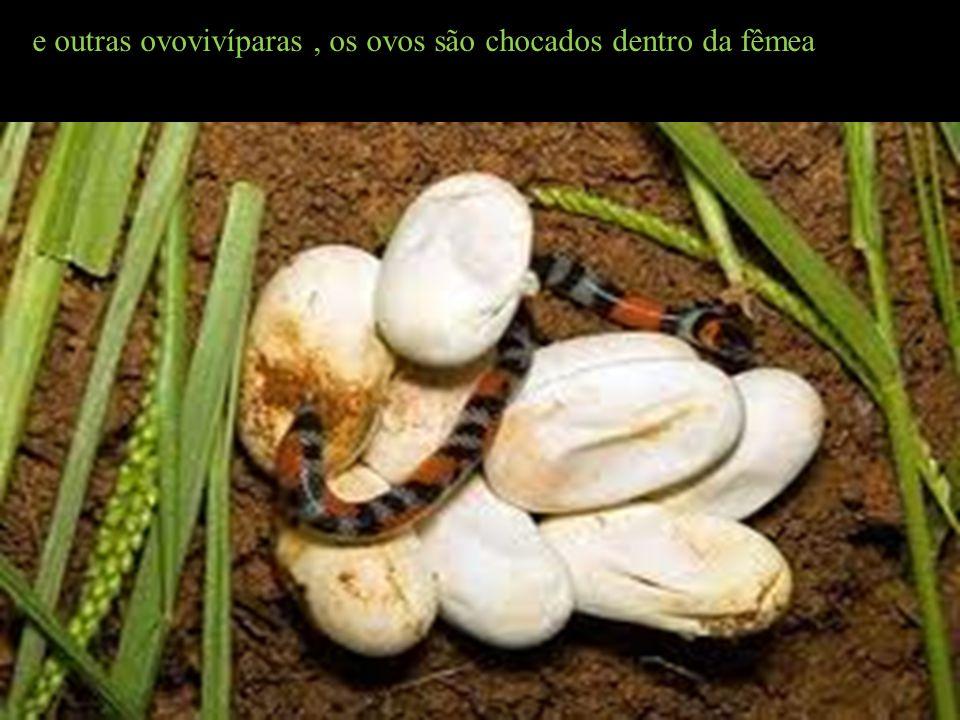 e outras ovovivíparas , os ovos são chocados dentro da fêmea