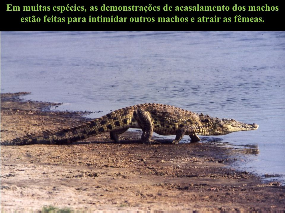 Em muitas espécies, as demonstrações de acasalamento dos machos estão feitas para intimidar outros machos e atrair as fêmeas.