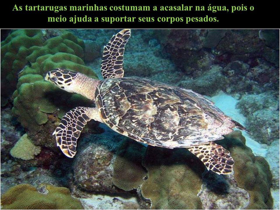 As tartarugas marinhas costumam a acasalar na água, pois o meio ajuda a suportar seus corpos pesados.
