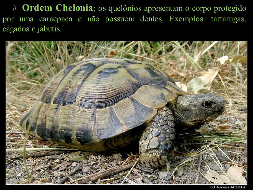# Ordem Chelonia; os quelônios apresentam o corpo protegido por uma caracpaça e não possuem dentes.