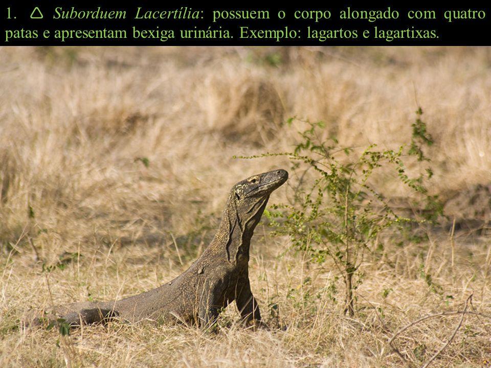  Suborduem Lacertília: possuem o corpo alongado com quatro patas e apresentam bexiga urinária.