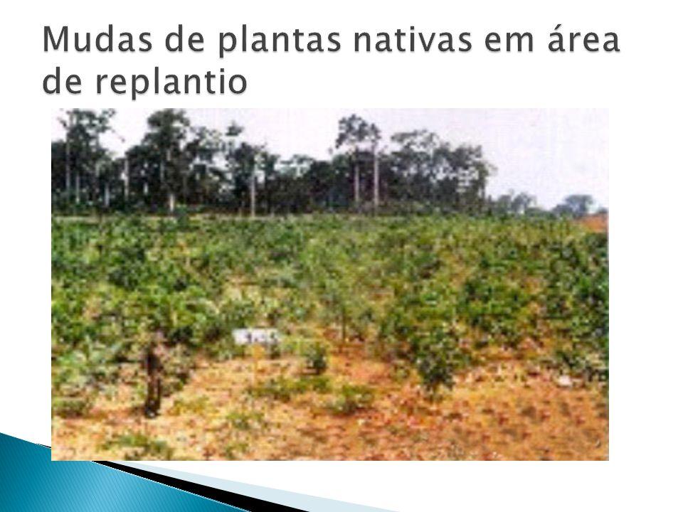 Mudas de plantas nativas em área de replantio