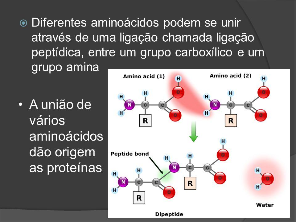 A união de vários aminoácidos dão origem as proteínas