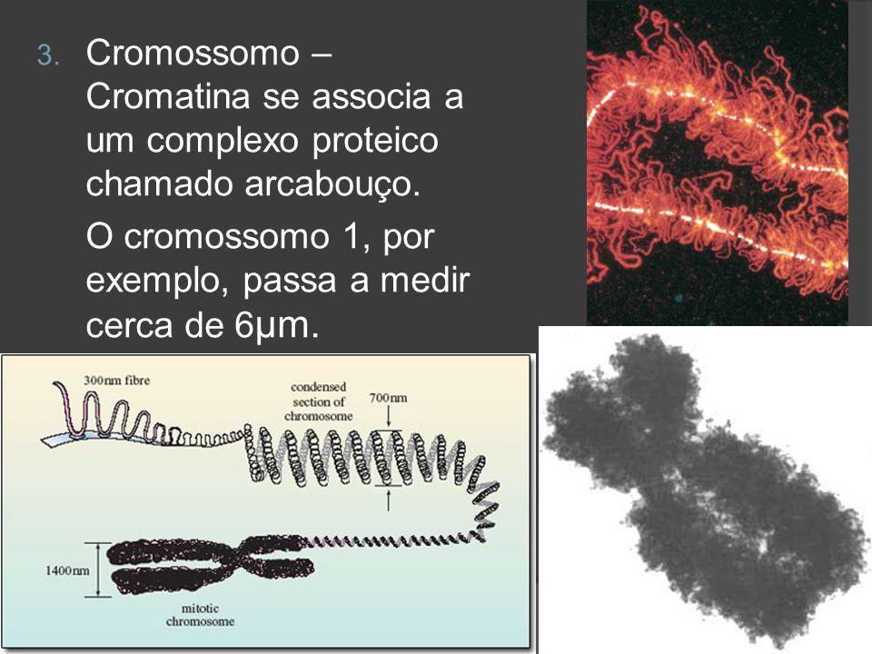 Cromossomo – Cromatina se associa a um complexo proteico chamado arcabouço.