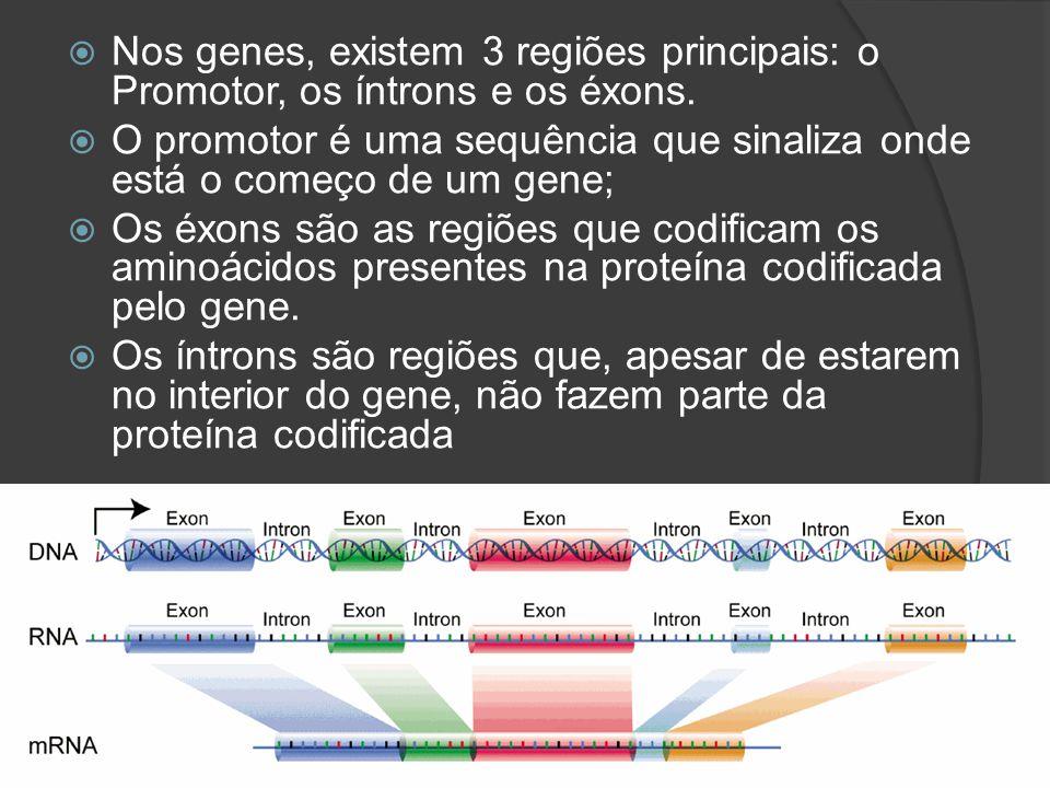 Nos genes, existem 3 regiões principais: o Promotor, os íntrons e os éxons.