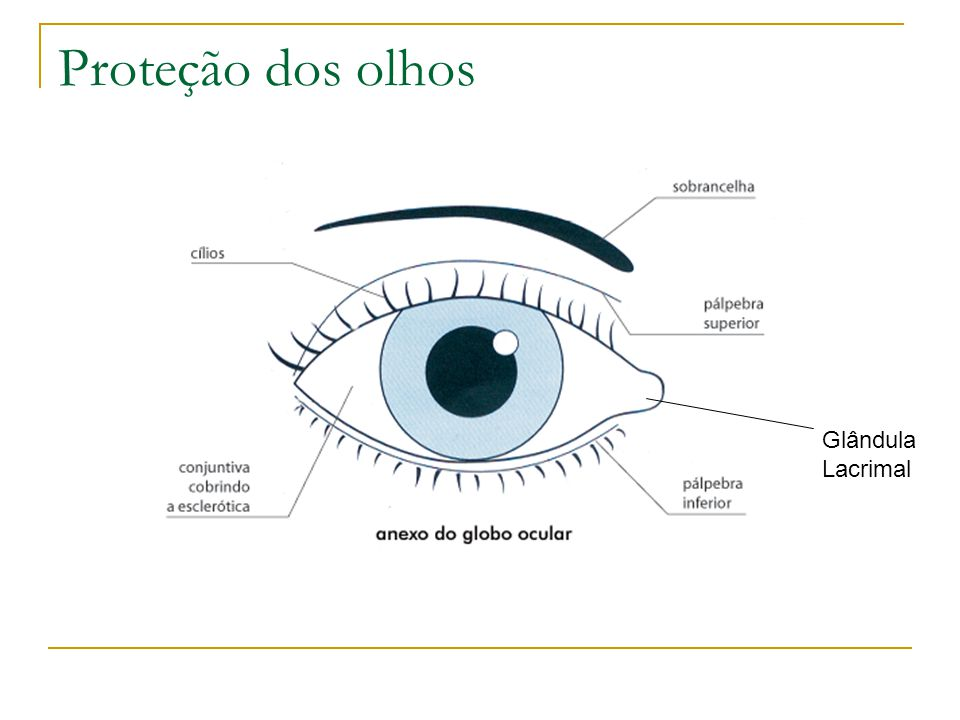 Proteção dos olhos Glândula Lacrimal