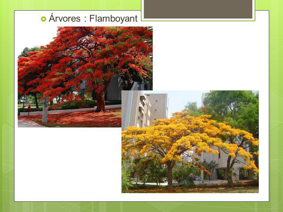 Árvores : Flamboyant