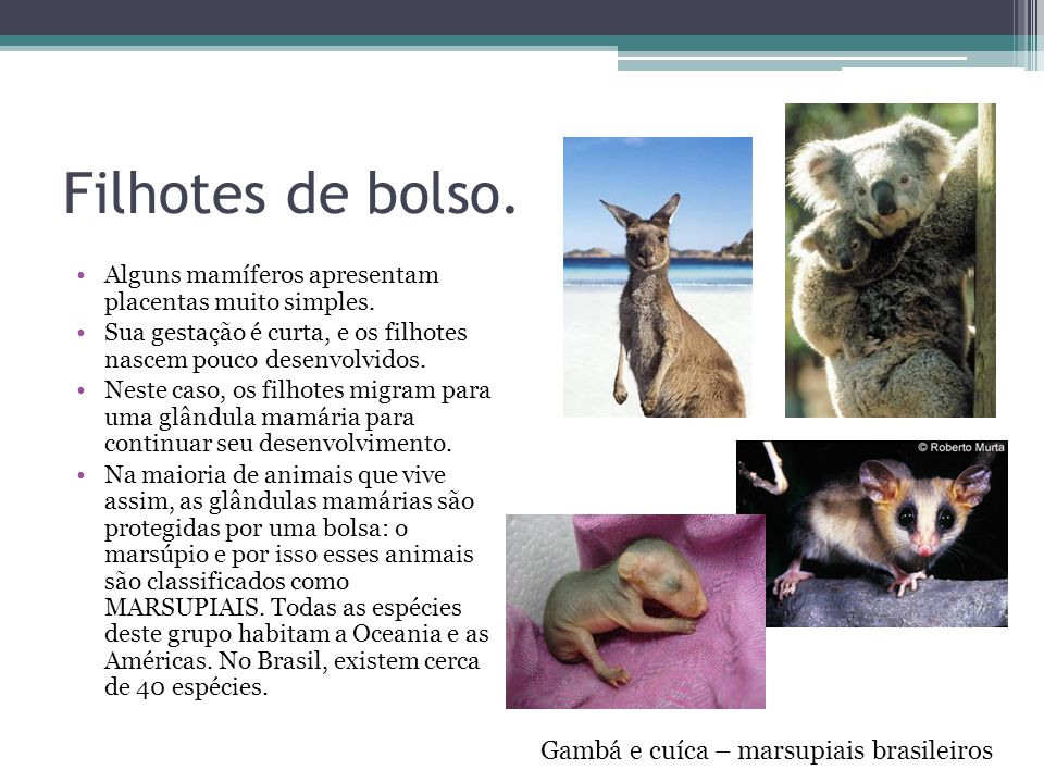 Filhotes de bolso. Gambá e cuíca – marsupiais brasileiros