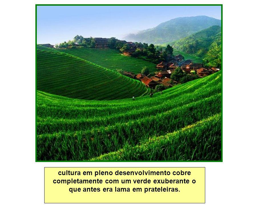 cultura em pleno desenvolvimento cobre completamente com um verde exuberante o que antes era lama em prateleiras.