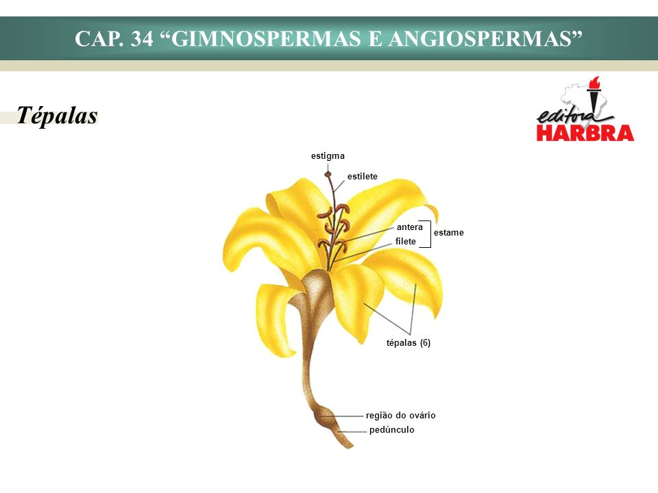 CAP. 34 GIMNOSPERMAS E ANGIOSPERMAS