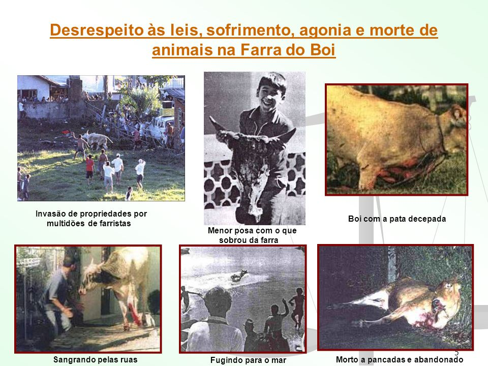 Desrespeito às leis, sofrimento, agonia e morte de animais na Farra do Boi