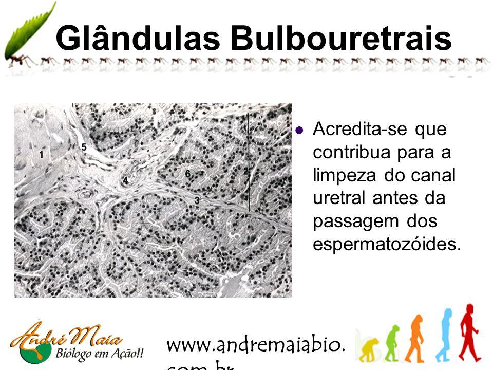 Glândulas Bulbouretrais