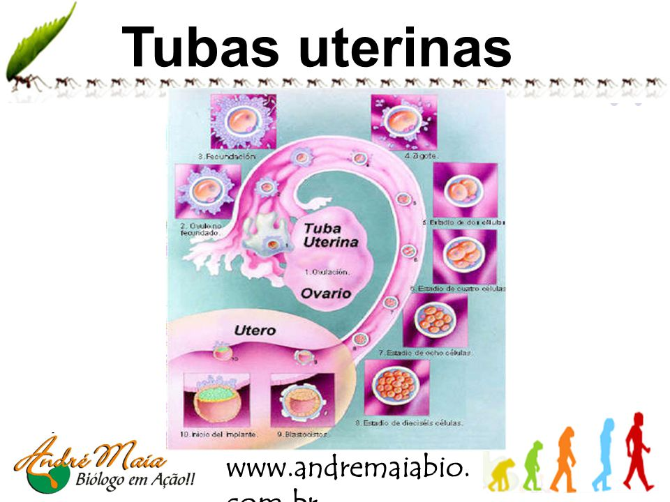 Tubas uterinas