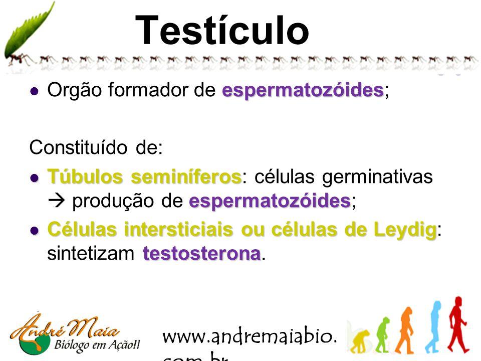 Testículo Orgão formador de espermatozóides; Constituído de: