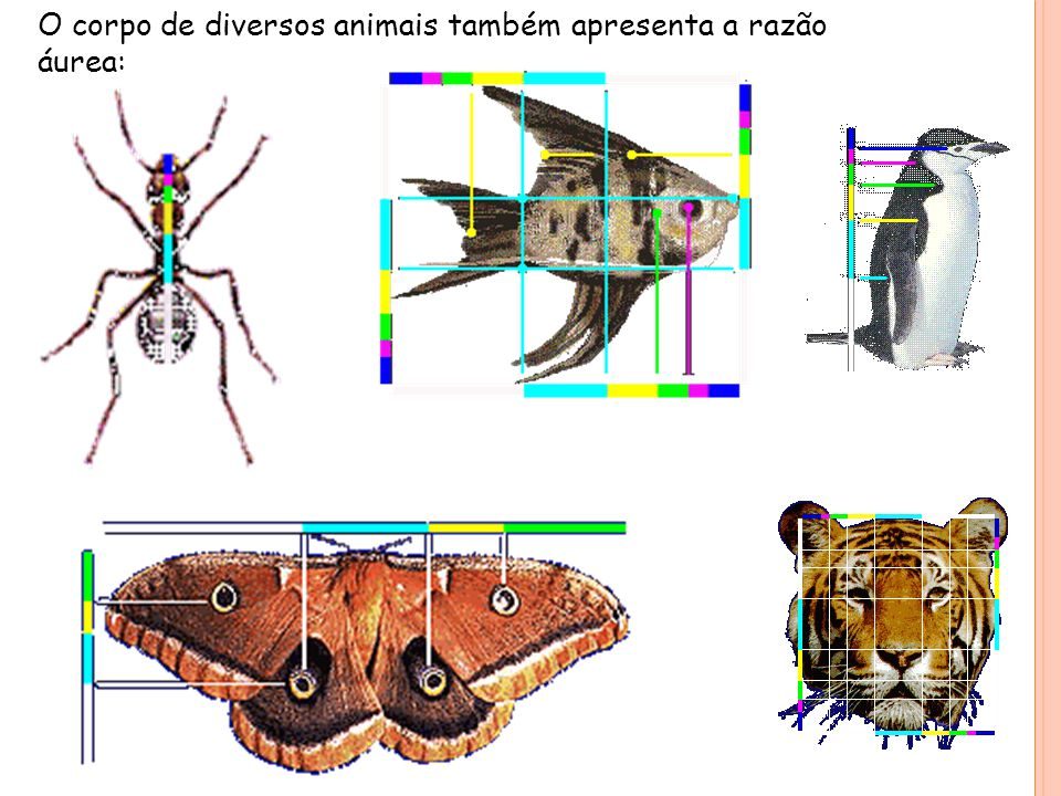 O corpo de diversos animais também apresenta a razão áurea: