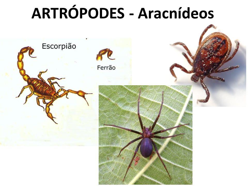 ARTRÓPODES - Aracnídeos