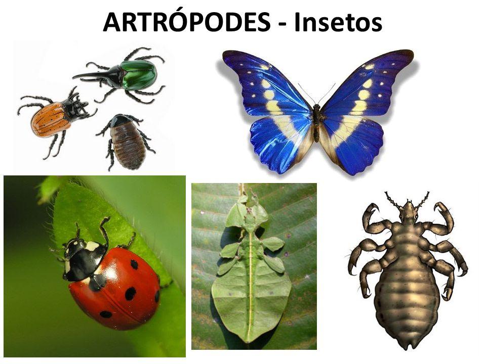 ARTRÓPODES - Insetos