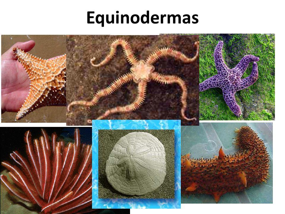 Equinodermas