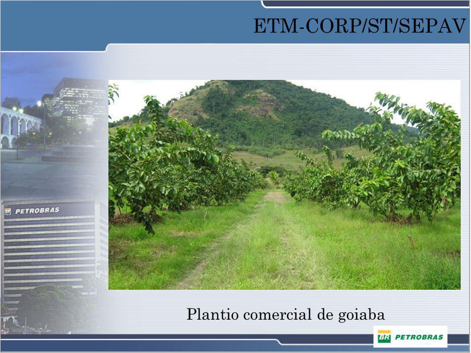 Plantio comercial de goiaba