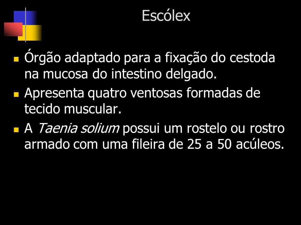 Escólex Órgão adaptado para a fixação do cestoda na mucosa do intestino delgado. Apresenta quatro ventosas formadas de tecido muscular.