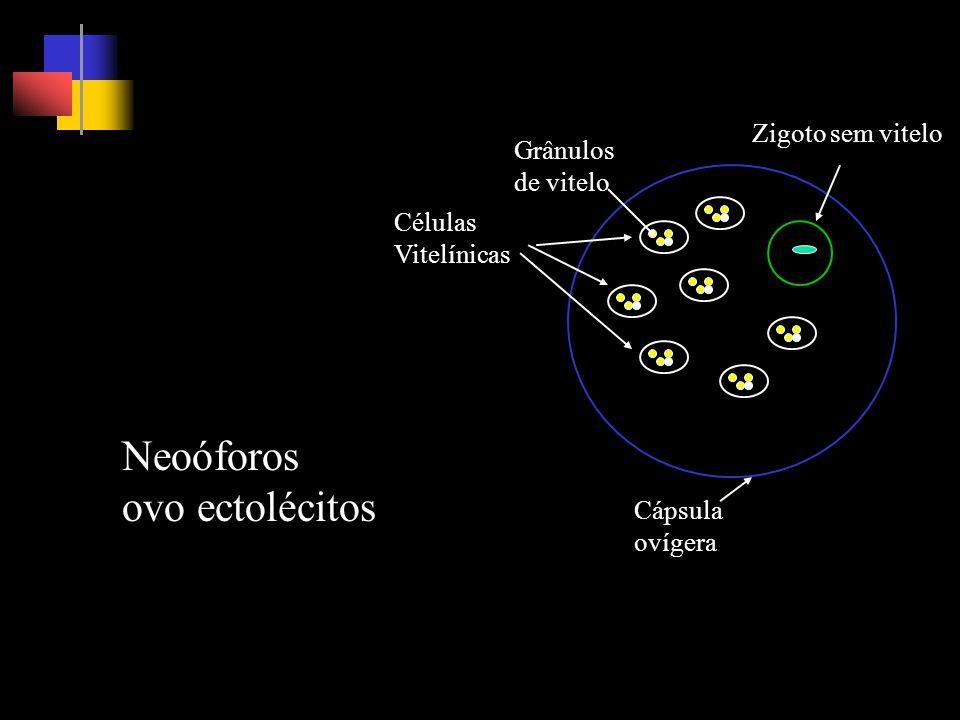 Neoóforos ovo ectolécitos Zigoto sem vitelo Grânulos de vitelo Células