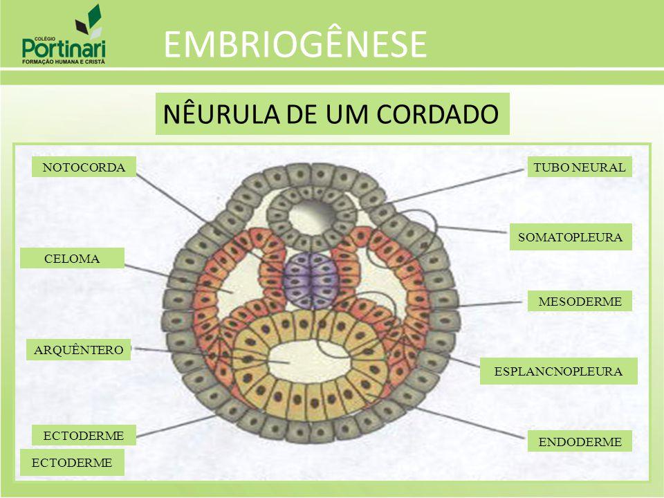 EMBRIOGÊNESE NÊURULA DE UM CORDADO ECTODERME ARQUÊNTERO CELOMA