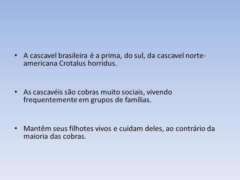 A cascavel brasileira é a prima, do sul, da cascavel norte-americana Crotalus horridus.