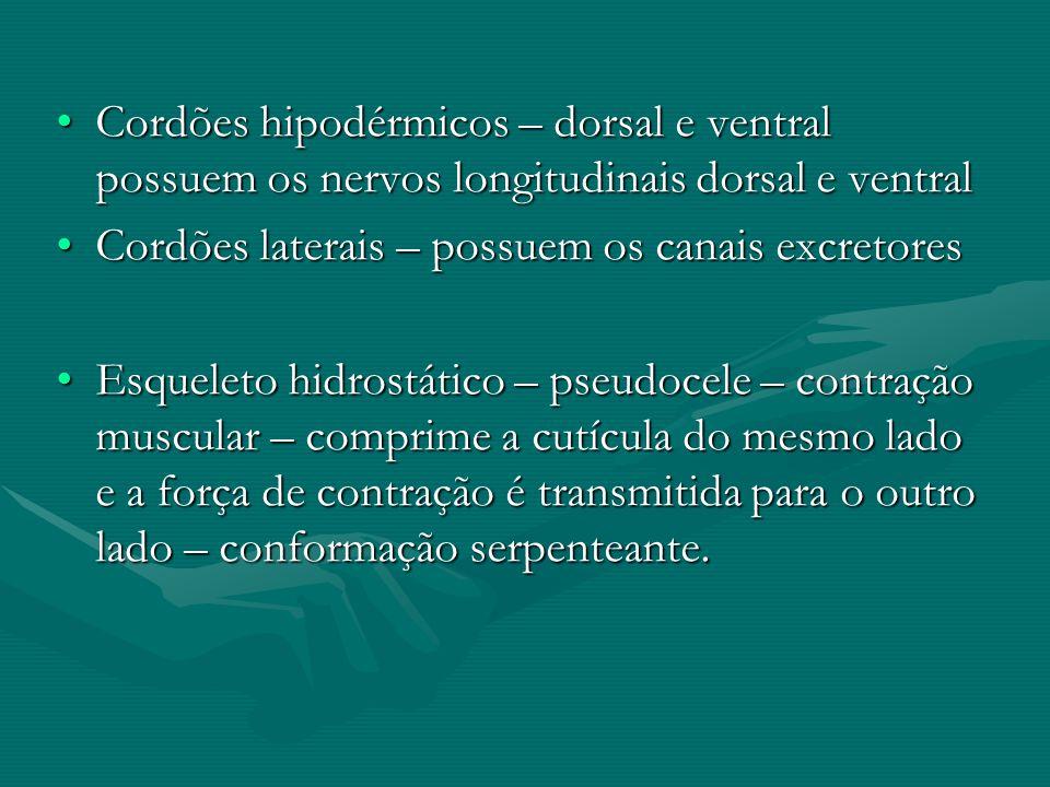 Cordões hipodérmicos – dorsal e ventral possuem os nervos longitudinais dorsal e ventral