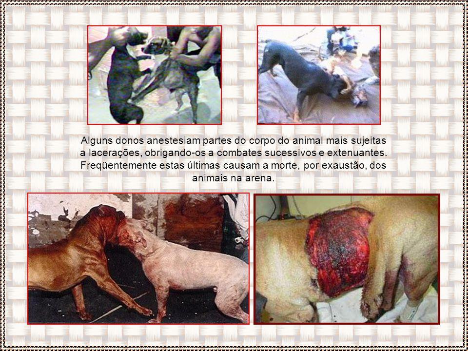 Alguns donos anestesiam partes do corpo do animal mais sujeitas a lacerações, obrigando-os a combates sucessivos e extenuantes.