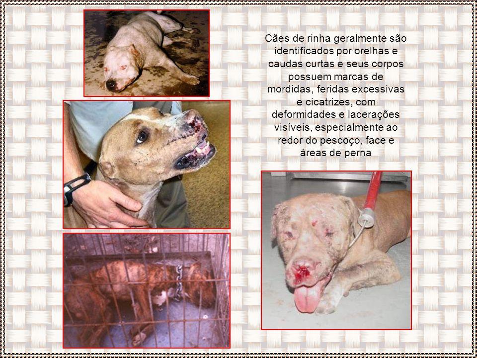Cães de rinha geralmente são identificados por orelhas e caudas curtas e seus corpos possuem marcas de mordidas, feridas excessivas e cicatrizes, com deformidades e lacerações visíveis, especialmente ao redor do pescoço, face e áreas de perna